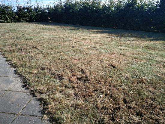 Græsplæne og gåsebiller